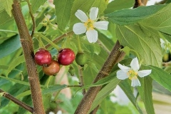 Jamacia_cherry_tree