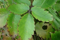 miracle_leaf